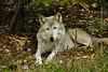 Wolf_020