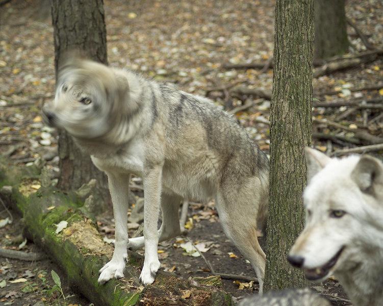 Wolf_062