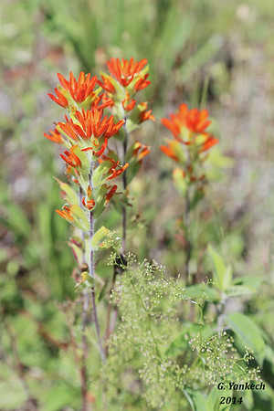 Indian Paintbrush, Castilleja coccinea