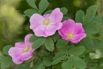 possibly Pasture Rose, Rosa carolina  pending identification confirmation