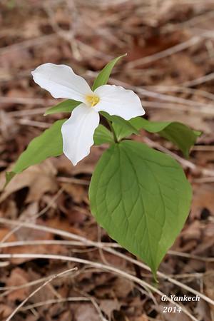 Large-flowered (white) Trillium
