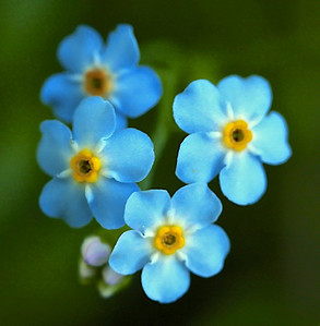 """forget me not"", Myosotis species, M. scorpions, or M. laxa  species not confirmed"