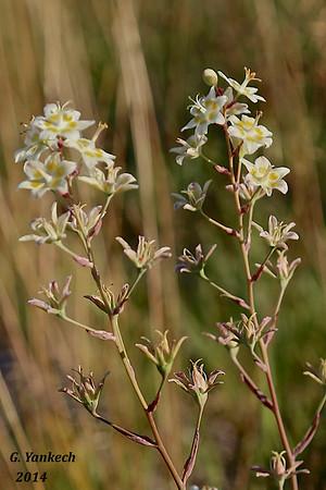 White Camas,  Zigadenus glaucus