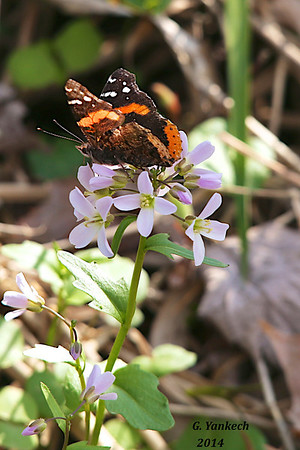 Red Admiral on Purple Cress, Cardamine douglassii