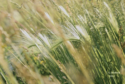 Foxtail Barley grass blowing in the wind