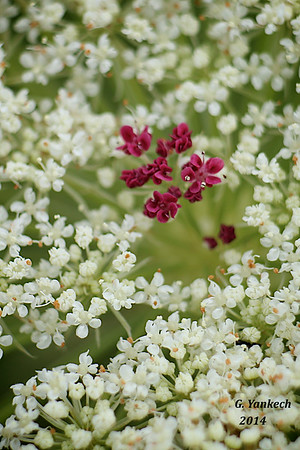 Queen Anne's Lace, Daucus carota