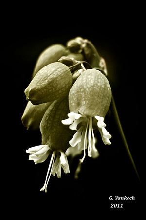 Bladder Campion, Silene cucubalus