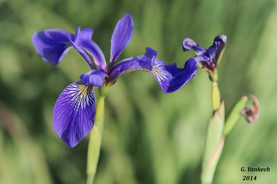 Larger Blue flag Iris,  Iris versicolor