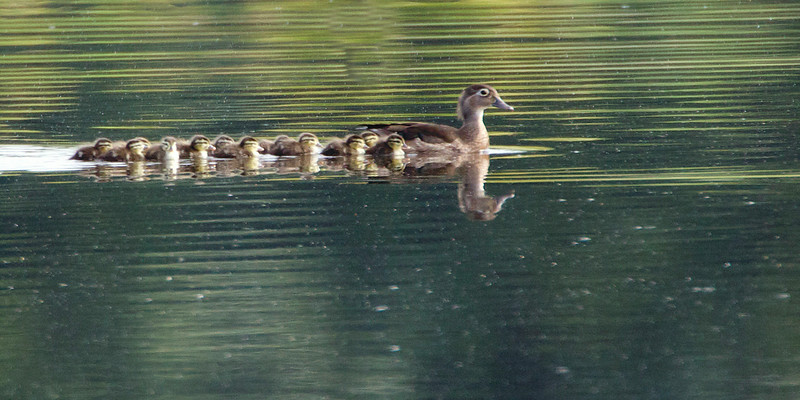 Wood duck babies jump into pond-6/22/14