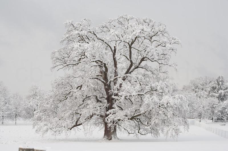 Oak in Winter (lat.Quercus)