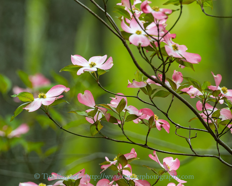 Pink dogwood blooms in April