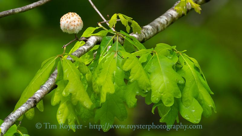 Wool Sower Gall on a White Oak tree