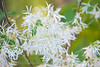 Fringe tree blooms