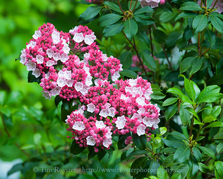 Mountain Laurel blooms