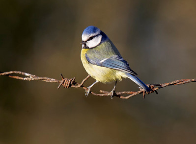 Blue tit on rusty barbed wire