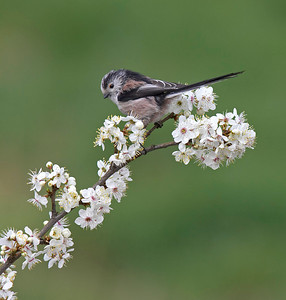 Long tailed tit on blackthorn blossom