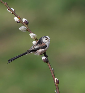 Long tailed tit on willow