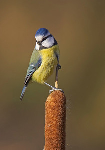 Blue tit on reedmace