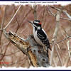 Hairy Woodpecker (male) - March 9, 2008 - Lower Sackville, NS