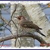 Northern Flicker (male) - October 22, 2006 - Lower Sackville, NS