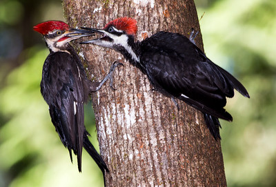 Male Pileated Woodpecker feeding a juvenile male.  Photo taken near Bremerton, Washington.
