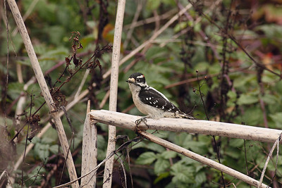 Downy Woodpecker - Full Frame shot