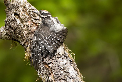 Immature Hairy Woodpecker stretching its wings.  Photo taken at the Staircase, Olympic National Park near Hoodsport, Washington.