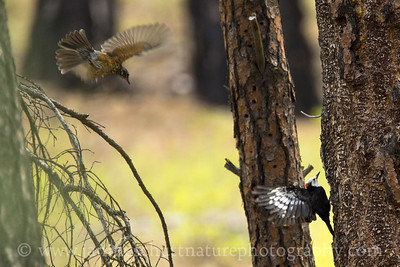 Male White-headed Woodpecker lands on a ponderosa pine snag while a young robin flies by.  Photo taken at Little Pend Oreille National Wildlife Refuge near Colville, Washington.