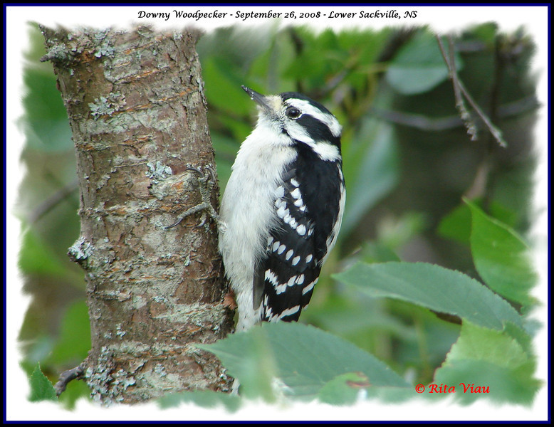 Downy Woodpecker (female) - September 26, 2008 - Lower Sackville, NS