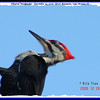Pileated Woodpecker (Male) - December 24, 2006 - River Bourgeois, Cape Breton, NS