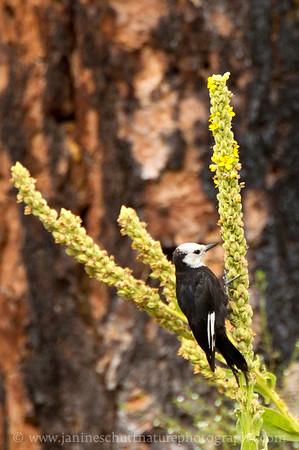 Female White-headed Woodpecker eating mullein seeds.  Photo taken at Little Pend Oreille National Wildlife Refuge near Colville, Washington.