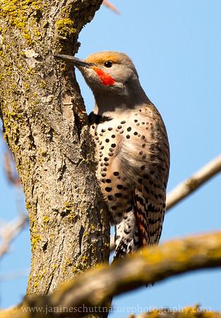 """Male """"red-shafted"""" Northern Flicker near Mattawa, Washington."""