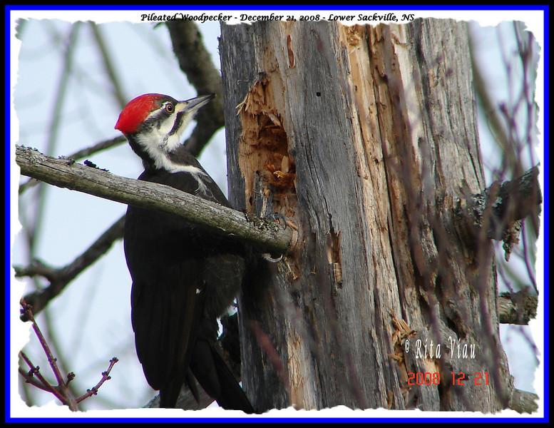 Pileated Woodpecker (Female) - December 21, 2008 - Lower Sackville, NS
