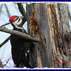 Pileated Woodpecker (Female) - December 21, 2008 - Lower Sackville, NS