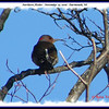 Northern Flicker (with deformed bill) - November 25, 2006 - Dartmouth, NS