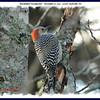 Red-bellied Woodpecker (female) - December 9, 2012 - Lower Sackville, NS