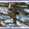 Northern Flicker (male) - May 8, 2007 - Lower Sackville, NS