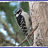 Downy Woodpecker (Female) - November 28, 2010 - Lower Sackville, NS