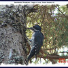 Black-backed Woodpecker - August 18, 2009 - Mount Uniacke, NS