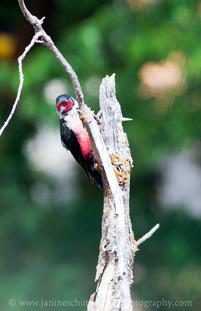 Lewis's Woodpecker.  Photo taken at the Oak Creek Wildlife Area near Yakima Washington.