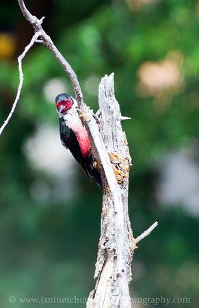 Lewis's Woodpecker.  Photo taken at the Oak Creek Wildlife Area near Yakima Washington.