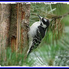 Hairy Woodpecker (Juvenile) - July 10, 2007 - Lower Sackville, NS