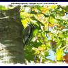 Yellow-bellied Sapsucker - September 26, 2006 - Lower Sackville, NS