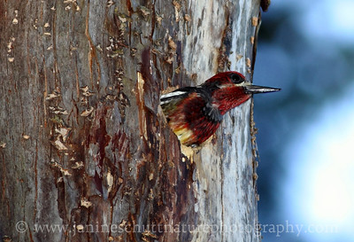 Red-breasted Sapsucker in nest hole at Scenic Beach State Park in Seabeck, Washington.