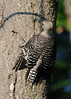 What a baby woodpecker does when a hawk flies by.