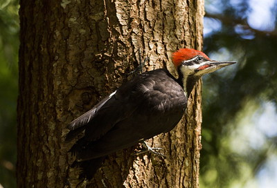 Male juvenile Pileated Woodpecker on a western hemlock trunk.  Photo taken near Bremerton, Washington.