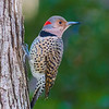 Northern flicker, female