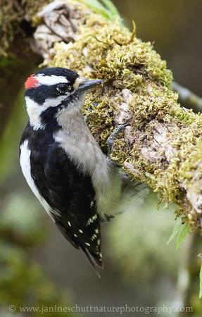 Male Downy Woodpecker at Nisqually National Wildlife Refuge near Olympia, Washington.
