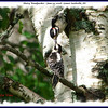 Hairy Woodpecker - June 22, 2008 - Lower Sackville, NS