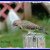 Northern Flicker (Male) - September 8, 2006 - Lower Sackville, NS